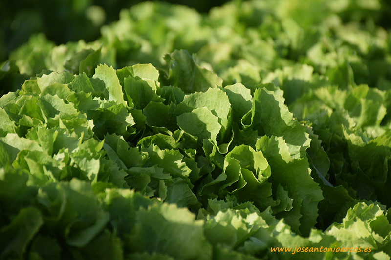 Lettuce-Attraction