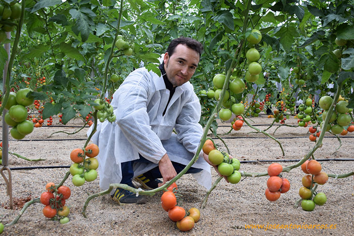 Jorge, productor de tomate, con la nueva variedad Ramytom.