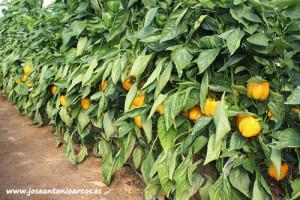 Pimientos californias amarillos de agroTIP.