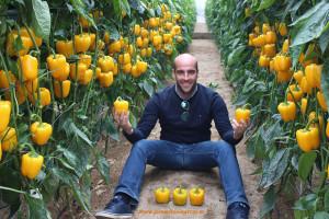 Carlos Fernández con Mikonos. Semillas Fitó. Pimientos californias amarillos.