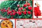 Días 24, 25 y 26 de enero. Jornada de pimiento california rojo de Llavors Horta/Huertasem