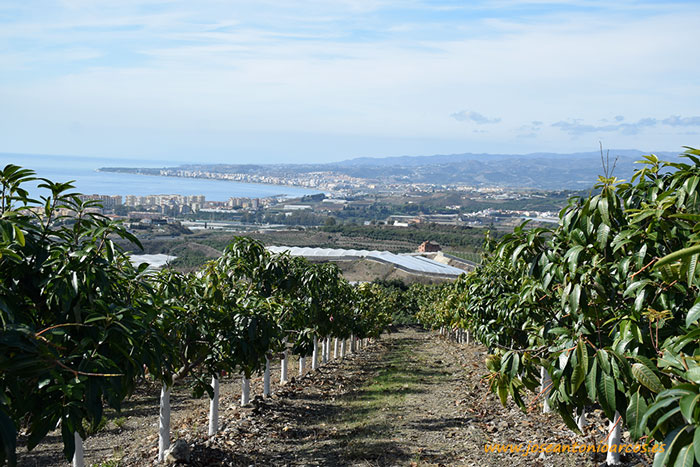 Cultivos tropicales en la Axarquía de Málaga.