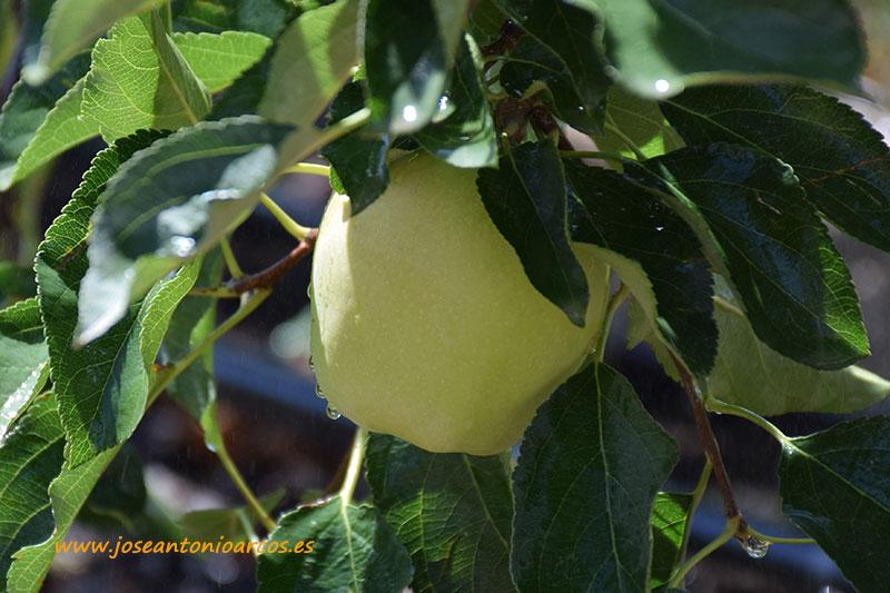 Afrucat-manzana