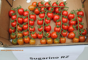 Tomate cherry pera Sugarino de Rijk Zwaan, RZ.