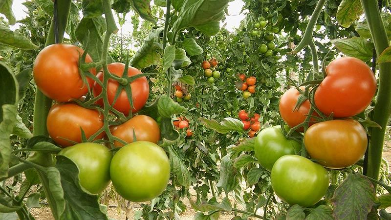 Grados Brix en los tomates de Agrinature.