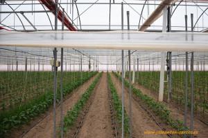 Mirafresh Organic. Pimientos ecológicos en Murcia.