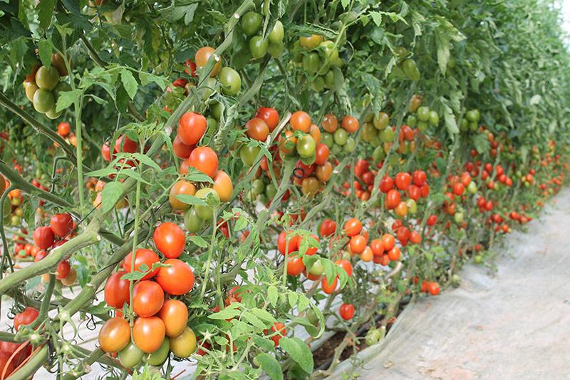 Zayintec se incorpora a Axia Seeds del grupo estadounidense Voloagri