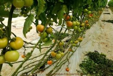 Agadir sube en más de 1.000 hectáreas su superficie de tomate