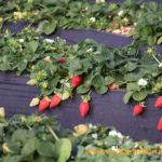Un tercio de la fresa europea es onubense