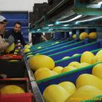 MAGAR levanta el telón del melón amarillo