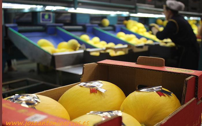 Melón amarillo de la almeriense MAGAR en El Ejido.