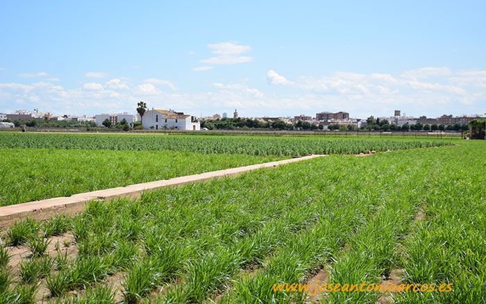 Cultivo de chufa en Carpesa.