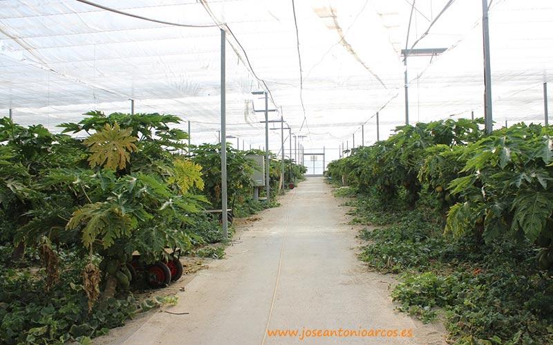 Invernadero de papaya en El Ejido.
