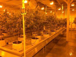 Total Hydro Cannabis de Pelemix.
