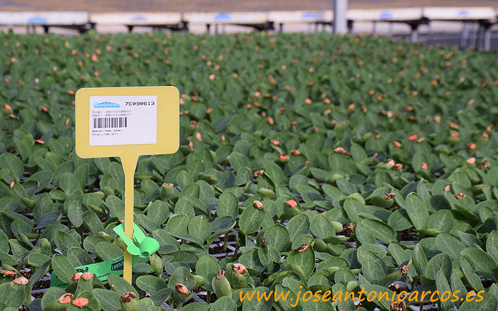 Injerto de pepino Grupo Cristalplant.