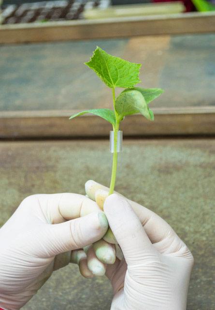 Injerto de púa en pepino. Grupo Cristalplant.