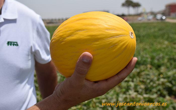 Melón amarillo Soleares.