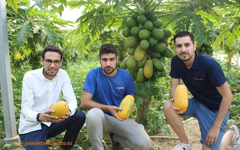 Papaya en Almería. De rareza exótica a realidad bajo plástico