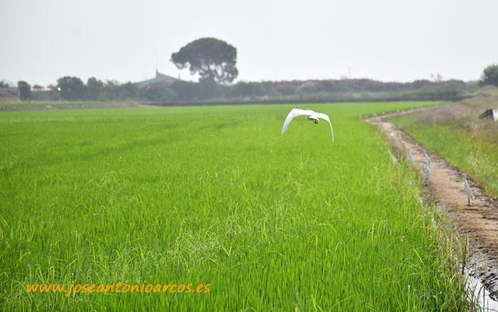 Campos de arroz en las Vegas Bajas.