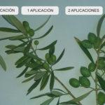 Trichodex mejora floración y cuajado con nuevos formulados