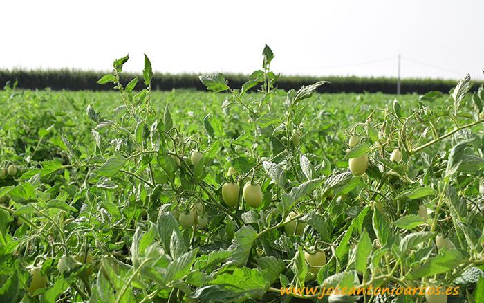 Finca de tomate de industria en siembra a principios de junio.