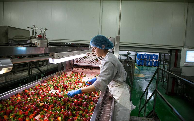 La mayor procesadora de frutos rojos del Sur de Europa está en Lepe