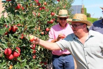 IGP Poma de Girona recolecta su primera manzana del verano