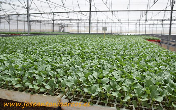 Brócoli en El Plantel de Llanos del Caudillo..