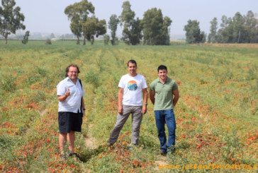 Extremadura arranca su campaña de tomate de industria