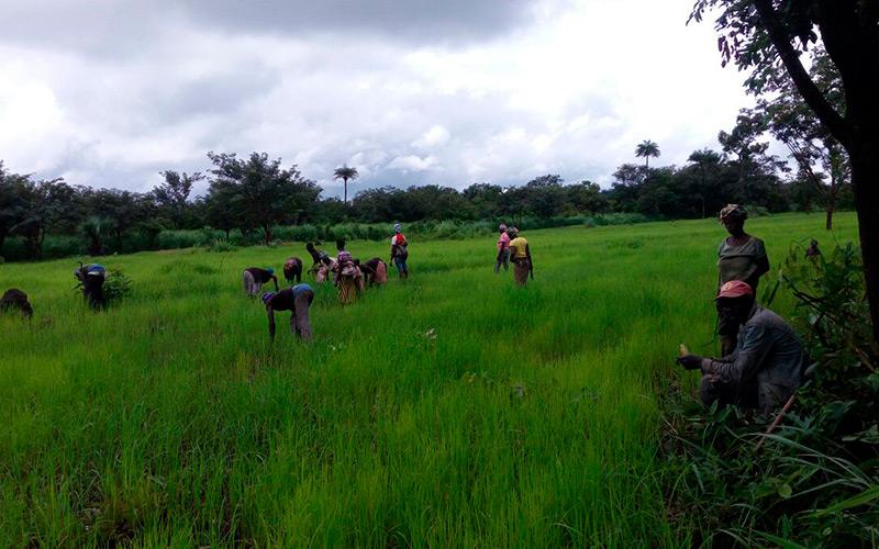 Trabajadores de arroz en Sierra Leona.