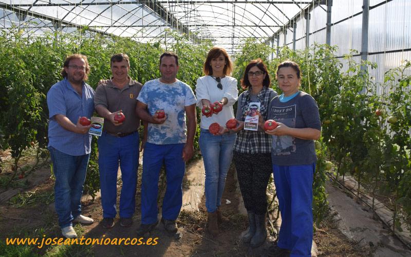 Tomate Riquiño Rosado en el invernadero de Verduras Chelín. Galicia.