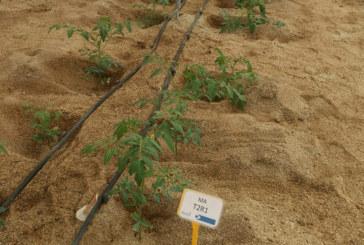 Ensayos de Ecoculture para bajar el consumo de agua en tomate
