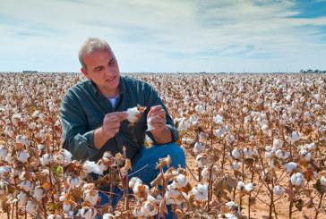 El algodón en Andalucía se mantiene creciendo en superficie y producción