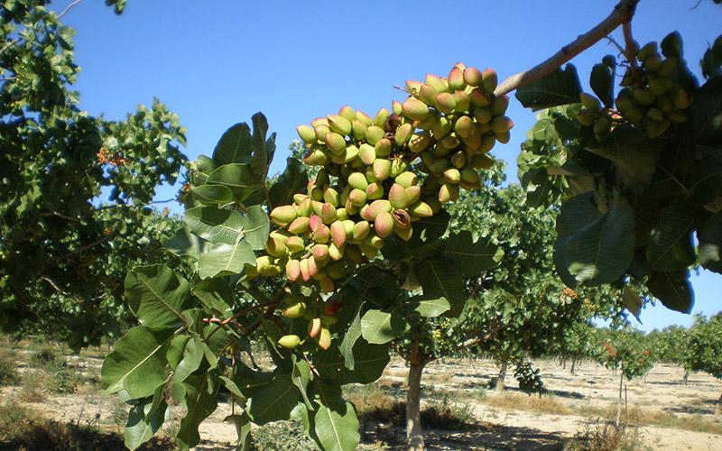 Granada y Jaén acaparan la producción andaluza de pistacho