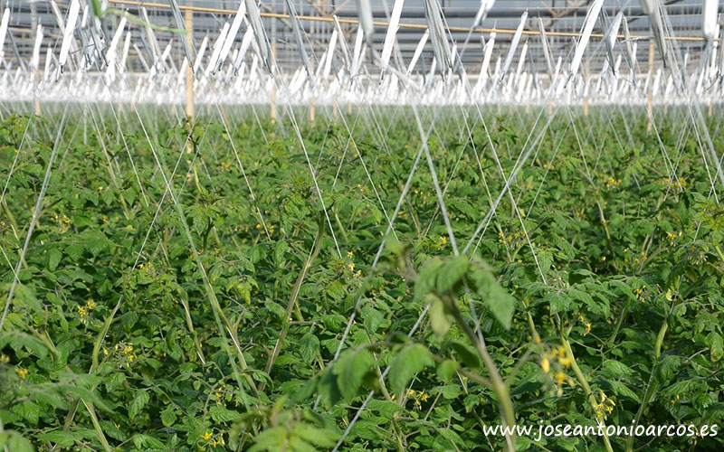 Plantación de tomates en Almería.
