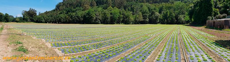 Producción de lechuga en Galicia.