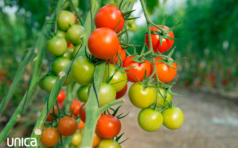 Tomates ParqueNat, Unica Group.