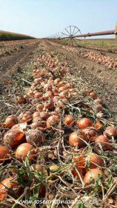 Cebollas en Serbia.