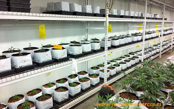Kits para cultivo de cannabis de Pelemix.