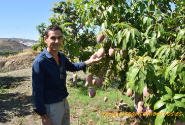 Los mangos ecológicos de la Axarquía de Málaga