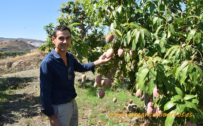 Domingo Medina, productor de mangos.
