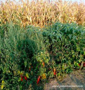 Cultivos de pimiento en Serbia, los Balcanes.