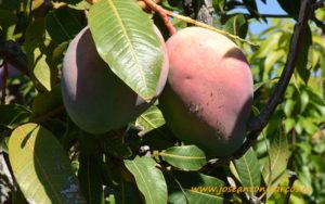 Mango Osteen.