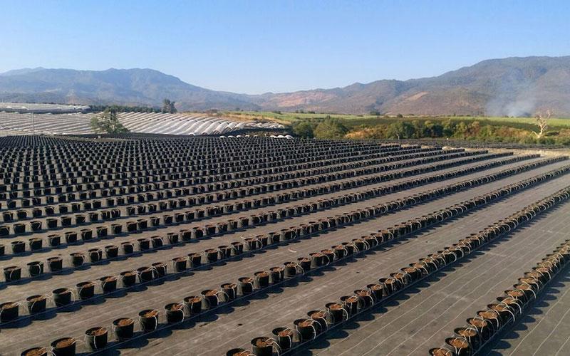 El hidropónico en arándano logra el 50% más de producción en su primer año