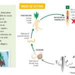 Vilmorin-Mikado lanza una solución contra nemátodos