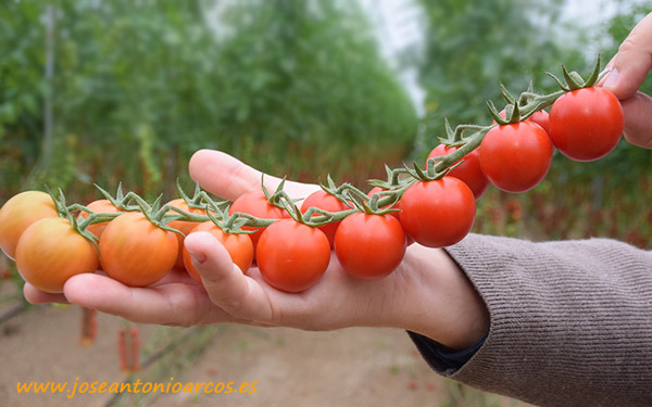 Tomate cherry Mandello, Rijk Zwaan.