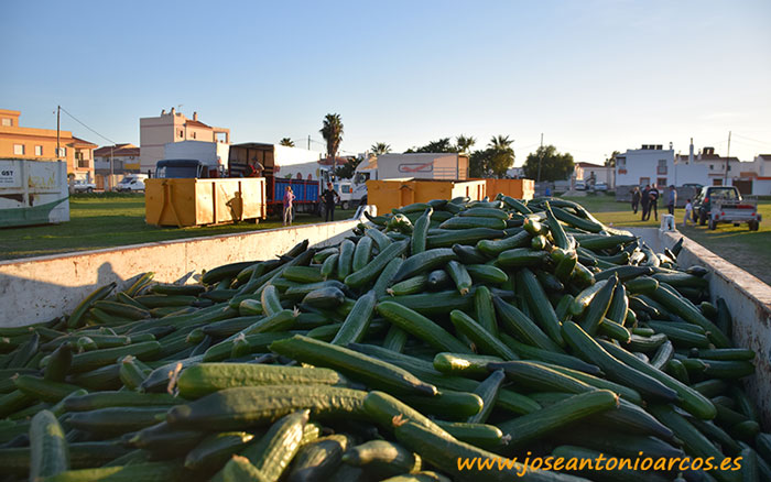 Agricultores de Carchuna, en Granada, retiran pepino por la crisis de precios.