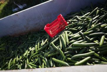 Crisis en el pepino