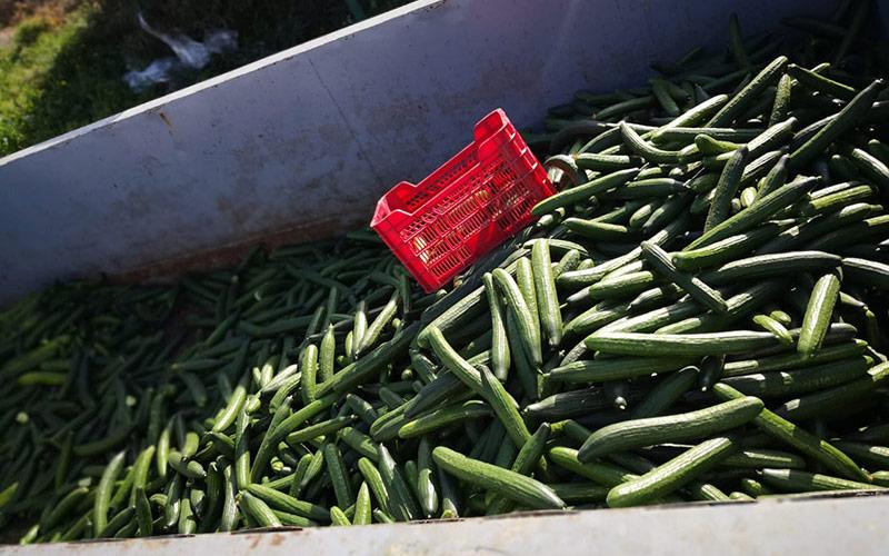 Pepinos en contenedor esta mañana en Carchuna.