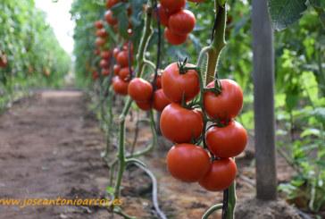 Lupión y Rodríguez evalúa con Asfertglobal el cultivo de tomate en condiciones adversas